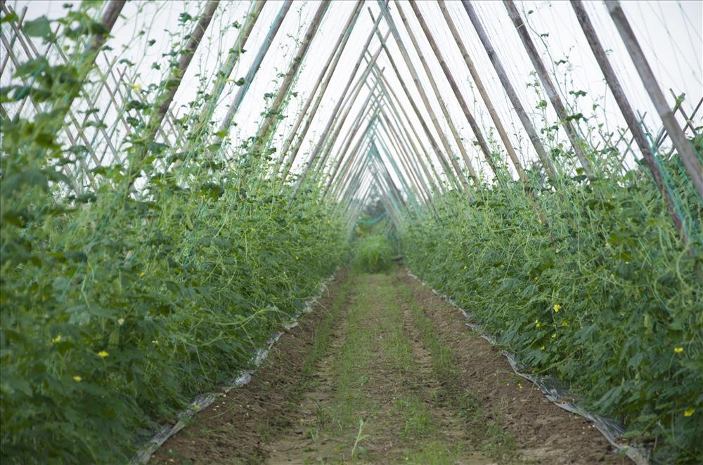 Thành công từ mô hình vừa sản xuất rau sạch, vừa làm du lịch sinh thái ở làng rau Trà Quế, tỉnh Quảng Nam đang áp dụng cách làm này ở làng rau Bầu Tròn…