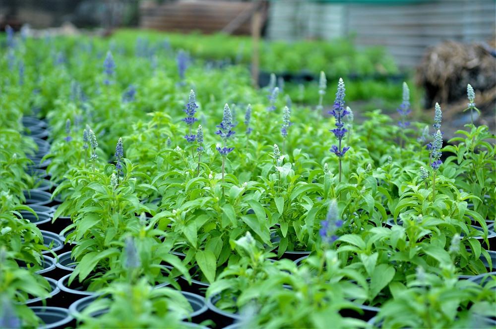Năm nay, dự báo được nhu cầu của người dân TPHCM ưu chuộng các loại hoa mới nên bà con đã nhập về trồng, nâng cao được hiệu quả kinh tế. Ảnh: T.S