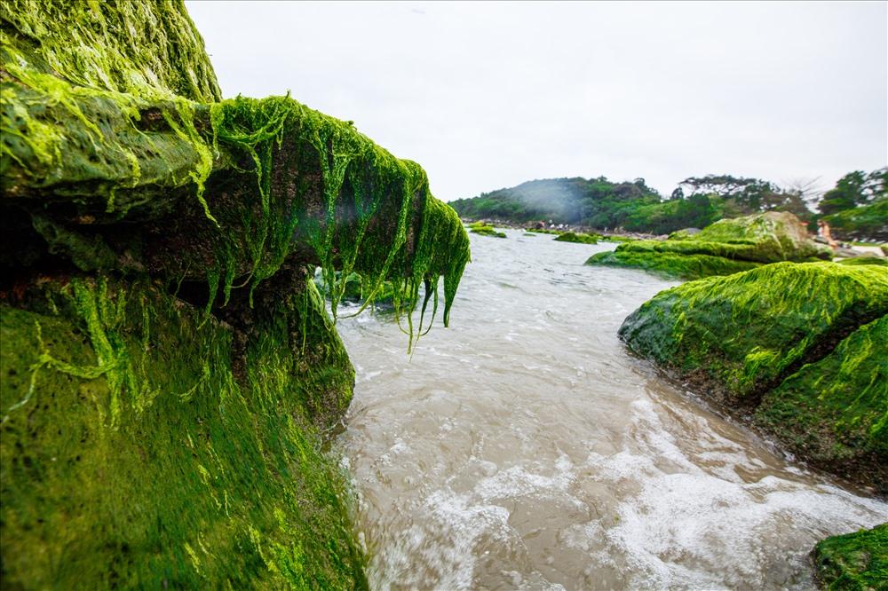 Khi thủy triều dần rút, bãi rêu xanh mềm mại phủ kín các tảng đá dần hiện ra.