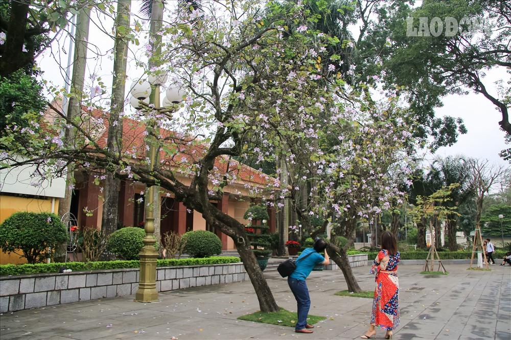 Anh Nguyễn Văn Tiến (Long Biên- Hà Nội) chia sẻ hàng năm vào mùa ban nở, anh luôn kín lịch chụp tại đường Hoàng Diệu. Các chị, các mẹ mặc áo dài thướt tha chụp cùng ban trắng hồng tạo nên khung cảnh thơ mộng.