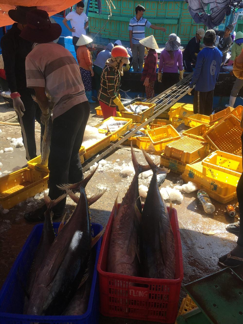 Những con cá ngư đại dương có trọng lượng trên 15kg. Ảnh: Đ.V