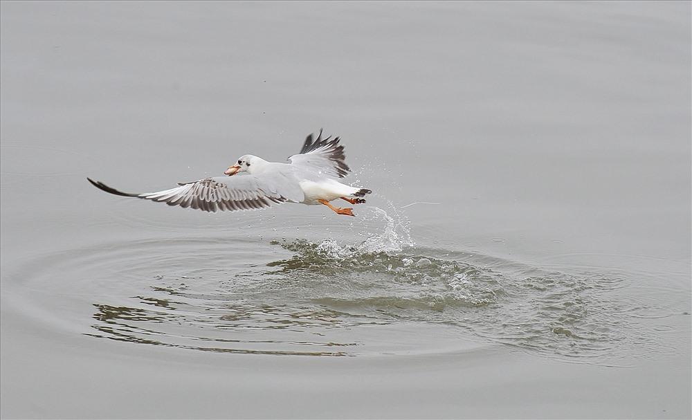 Tuyệt đẹp khoảnh khắc chim hải âu săn mồi