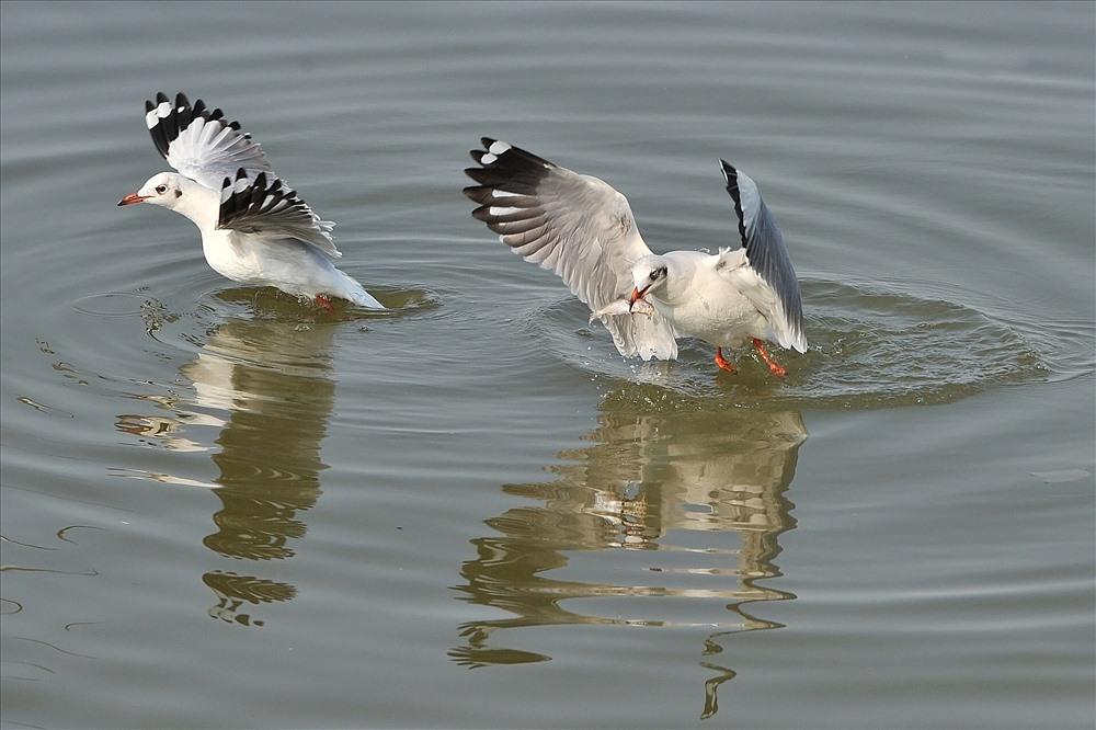 """Hải âu là loài chim biển phàm ăn. Khi thấy thức ăn, chúng tranh mồi khá """"quyết liệt"""""""