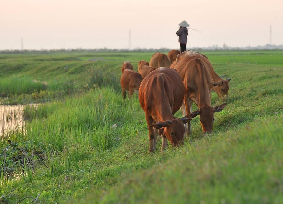 Đàn bò nhởn nhơ gặm cỏ non trên bờ đê, hình ảnh quen thuộc, đặc sắc của các vùng quê. Hình ảnh khiến bao con người phải thổn thức nhớ về quê hương. Ảnh: Đặng Phụng.