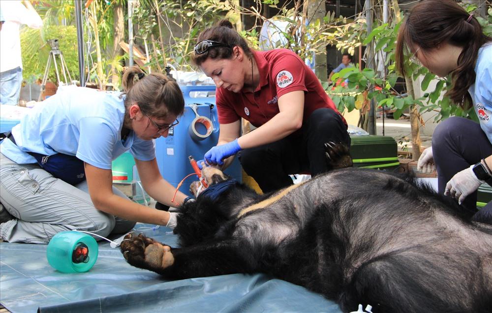 Bác sĩ thăm khám sức khỏe cho gấu.