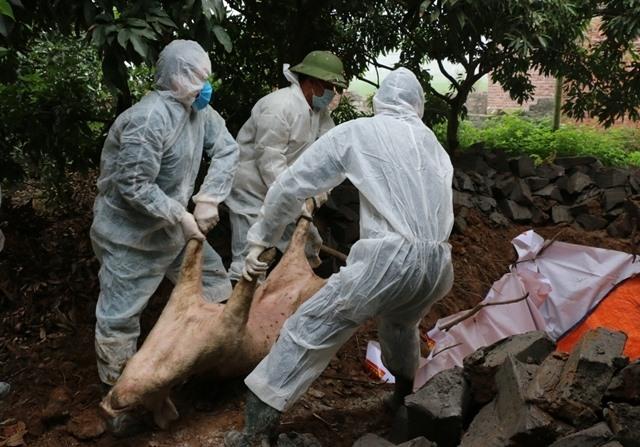 Tiêu hủy lợn bị dịch tả lợn châu Phi. Ảnh: PV
