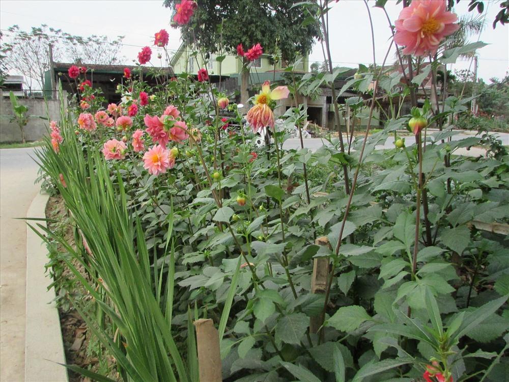 Không chỉ có các tuyến đường chính mà hoa còn được trồng trong những tuyến đường liên thôn, liên gia