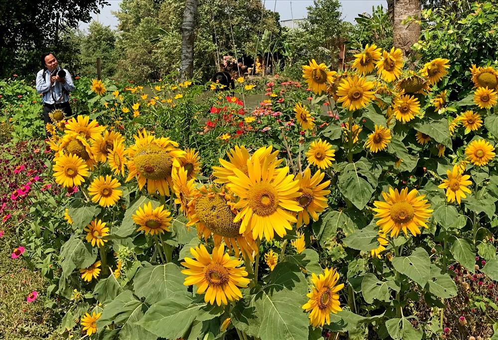 Nhiều hoa hướng dương được trồng tại cánh đồng hoa Vĩnh Hiệp