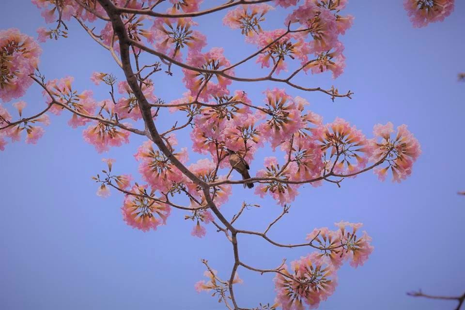 """Khi cây ra hoa, lá rụng hết để nhường lại không gian """"toả sáng"""" cho những chùm hoa nhỏ nhắn, mang hình chiếc kèn lung linh trong nắng."""