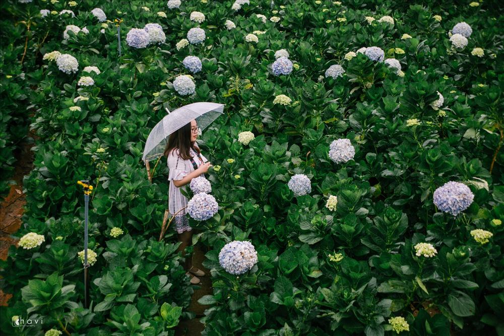 """Góc chụp """"triệu like"""" tại vườn hoa cẩm tú cầu. Ảnh: Thúy Hiền"""