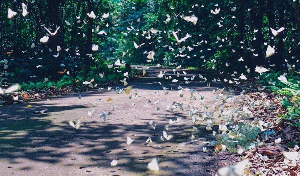 Sau nhiều ngày xuân ẩm ướt mưa bụi, hàng vạn cánh bướm trong rừng Cúc Phương đồng loạt tách nhộng. Ảnh: Hàn Việt Anh
