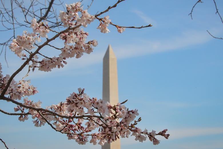 Hoa anh đào nổi tiếng của Washington, DC khoe sắc.