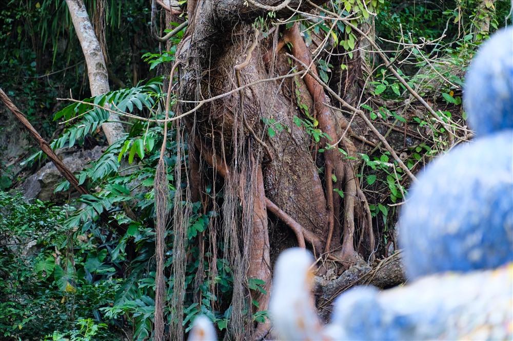 Thân cây đa
