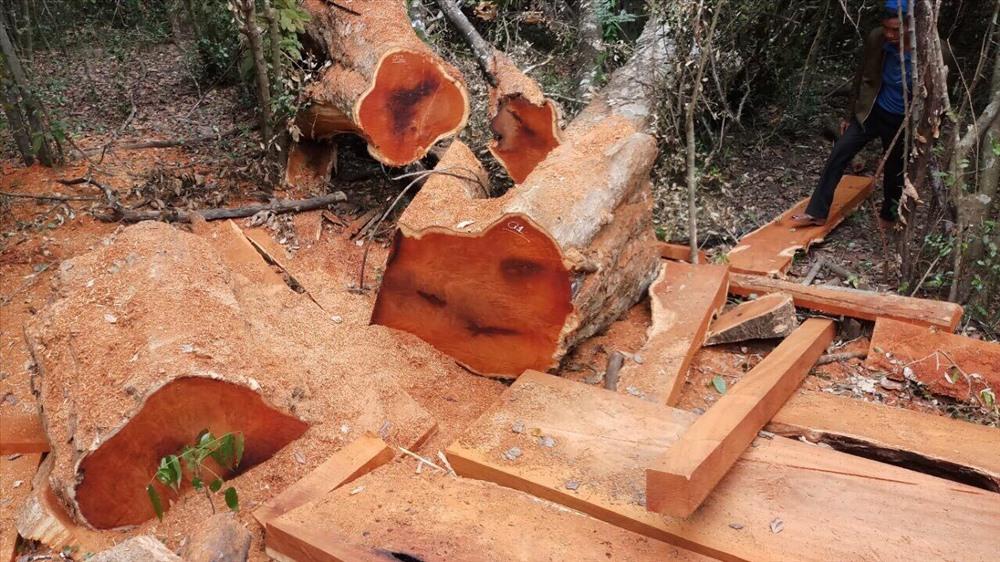 Hình ảnh nhức nhối của hiện trường một vụ phá rừng. (Ảnh do Vườn Quốc gia Yok Đôn cung cấp)