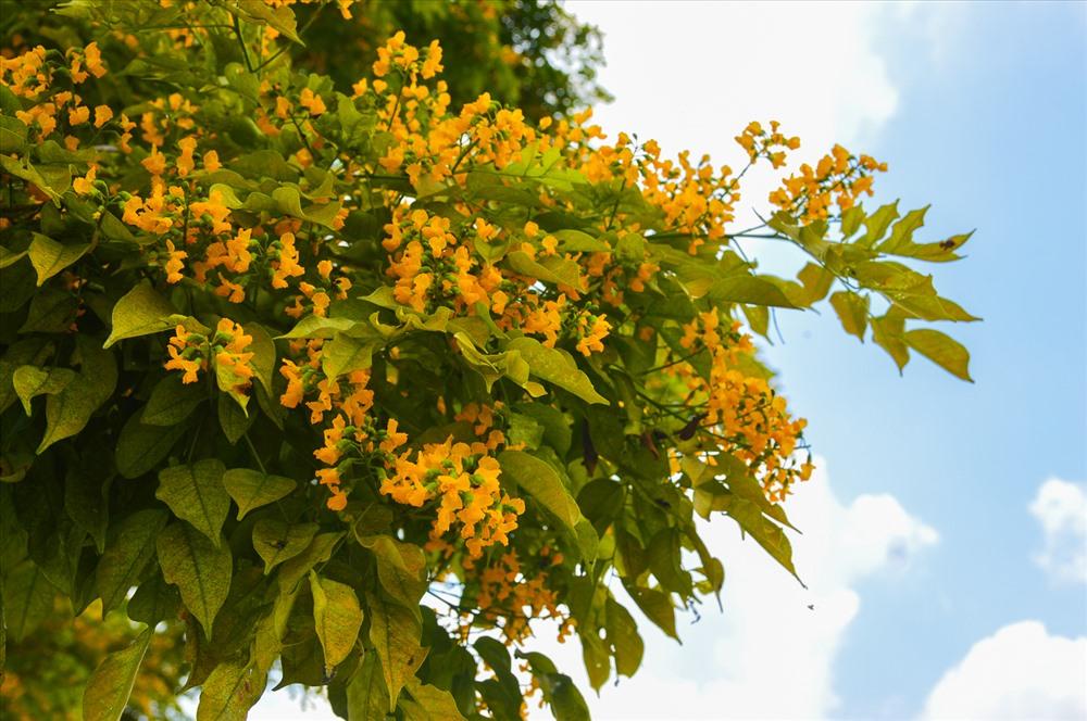 Màu sắc vàng tươi của hoa sưa.