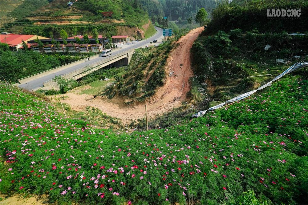 Cách thị trấn Sa Pa 7km, vườn hoa cánh bướm của chị Vũ Bích Ngọc đang thu hút được nhiều sự chú ý từ du khách.