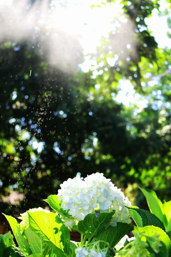 Hoa cẩm tú cầu khoe sắc dưới ánh nắng rực rỡ.