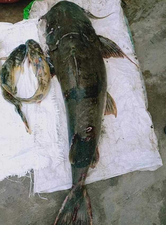 Loài cá ghé này đang ngày càng khan hiếm