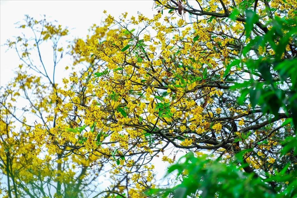 Màu vàng rực rỡ của hoa cây Lim xẹt.
