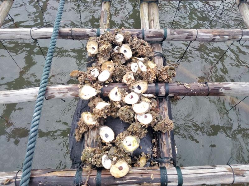 Theo thông kê sơ bộ, 80-90% số hà nuôi trong số các lồng, bề đã chết.
