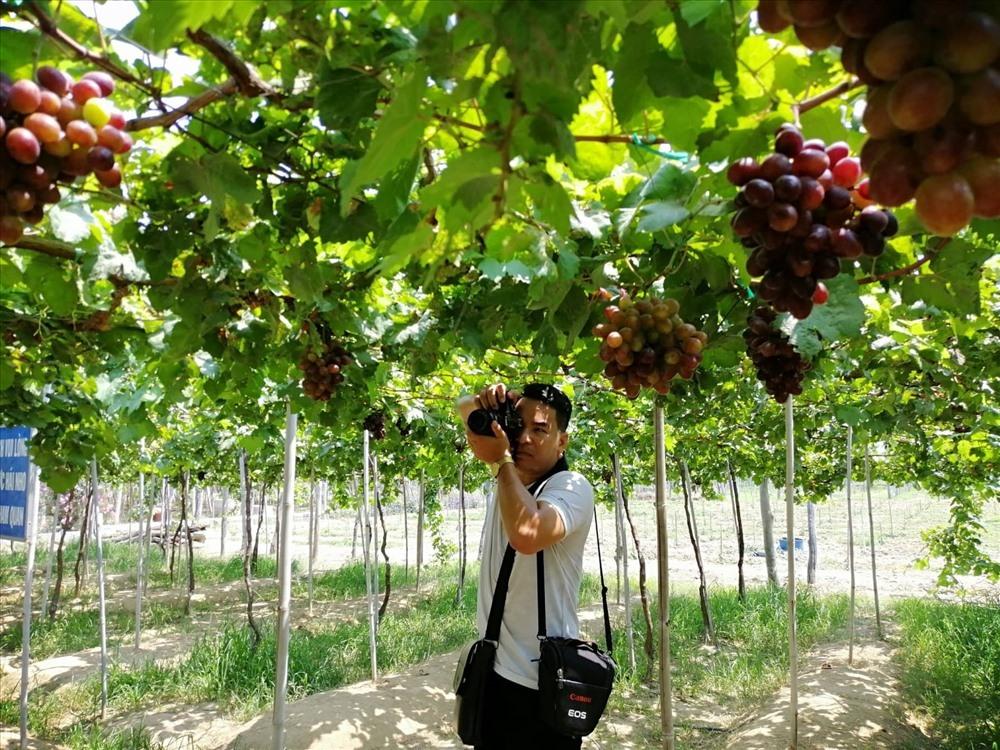 Ninh Thuận, vùng trồng nho nhiều nhất, chất lượng nho thơm ngon và giàu dinh dưỡng