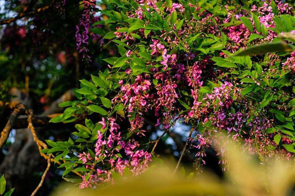 Có lúc hoa Thàn mát lại mang màu tím hồng.