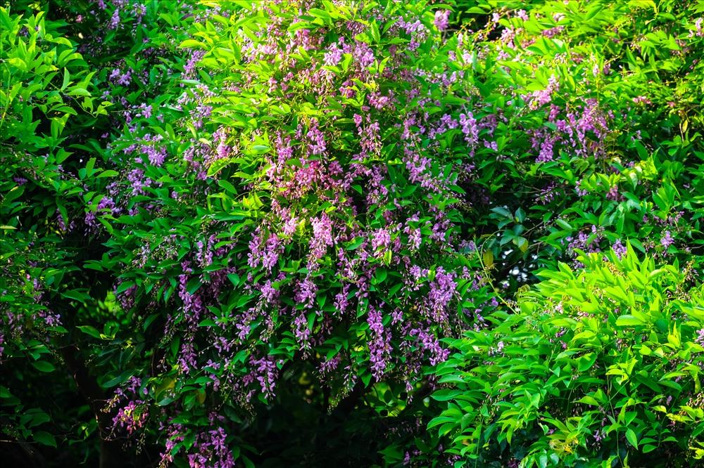 Cây Nánh có tên gọi khác là Mát đen, Thàn mát rủ, Thàn mát nước, tên khoa học là Millettia nigrescens Gagnep, thuộc họ Đậu Cánh bướm.