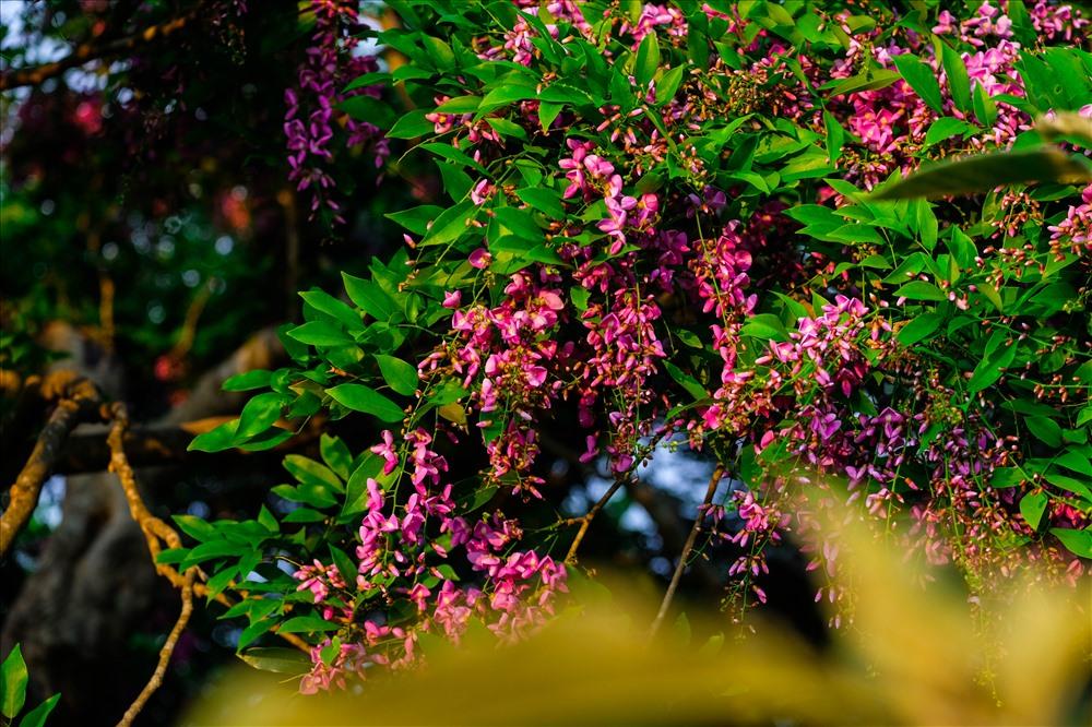 Có lúc hoa Thàn mát lại mang màu tím hồng