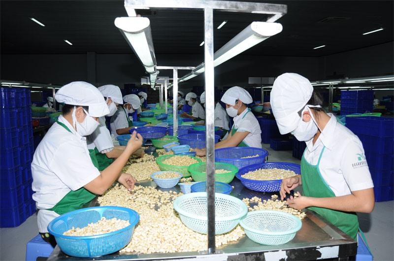 Chế biến hạt điều xuất khẩu ở tỉnh Bình Phước. Ảnh: C.H
