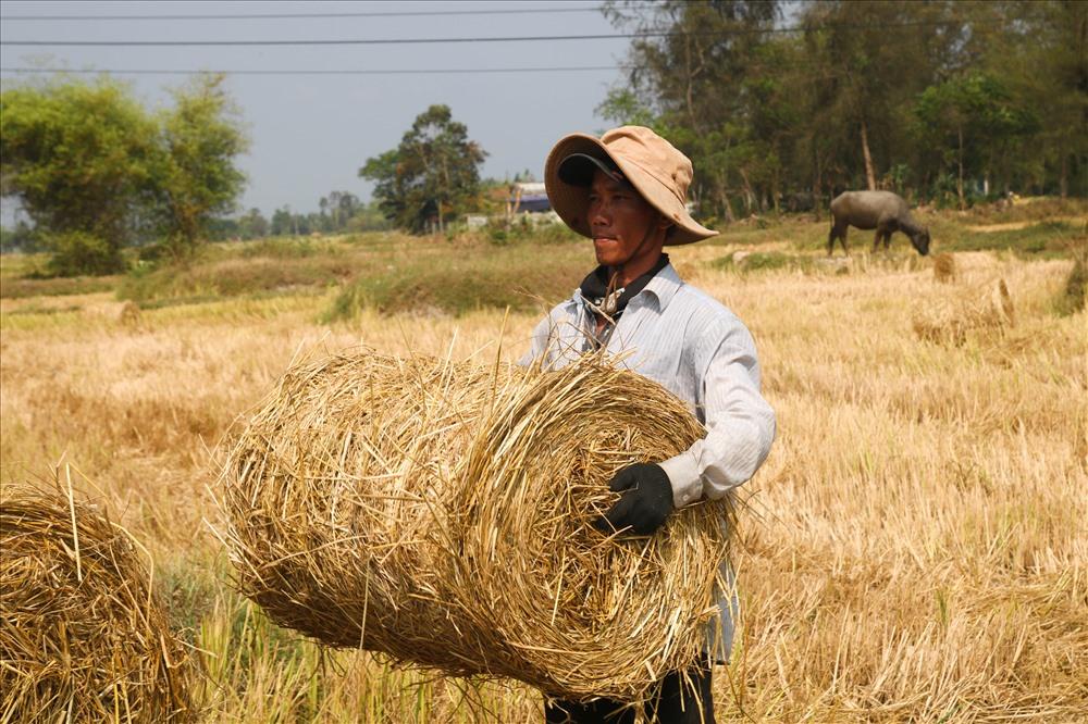 Vụ mùa Đông - Xuân vừa thu hoạch xong, trên cánh đồng lúa huyện Thăng Bình, nhiều người dân ở Quảng Nam liền bước vào thu mua rơm để làm nấm rơm...