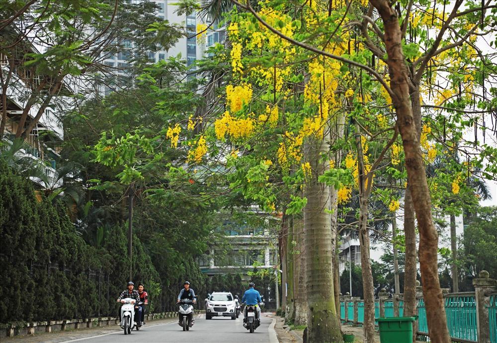Muồng hoàng yến thuộc cây thân gỗ hoa đẹp có mùi thơm nên được lựa chọn trồng làm cây bóng mát, cũng như làm đẹp cảnh quan tại các đường phố, khu đô thị.