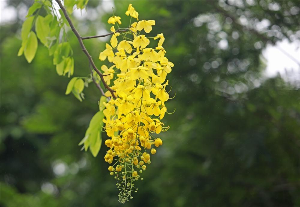 Cánh hoa mỏng, hình bầu dục, mặt ngoài mịn, mượt với màu vàng khá rực rỡ.
