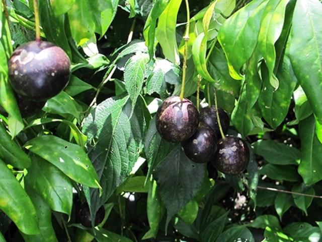Vụ 5 người chết vì ăn quả dại: Cục an toàn thực phẩm có kết luận chính thức