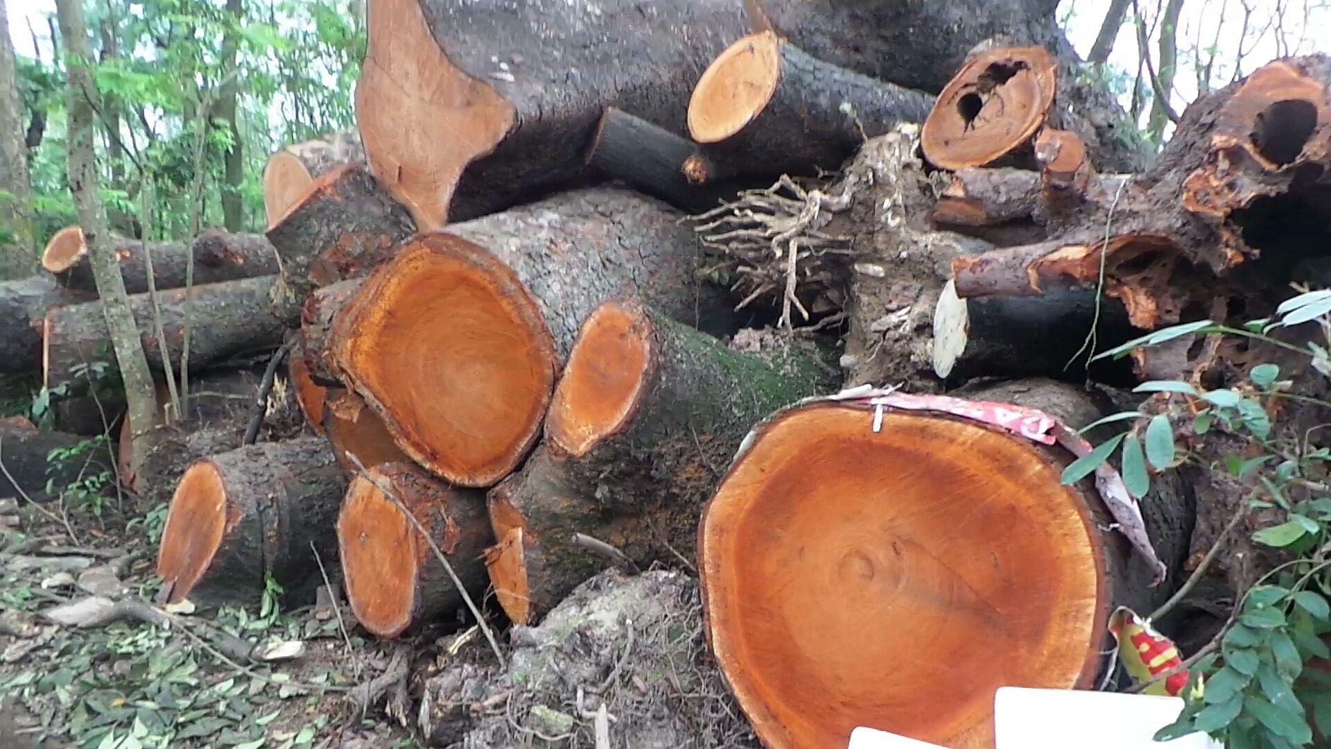Thân cây gỗ giáng hương cắt ngang