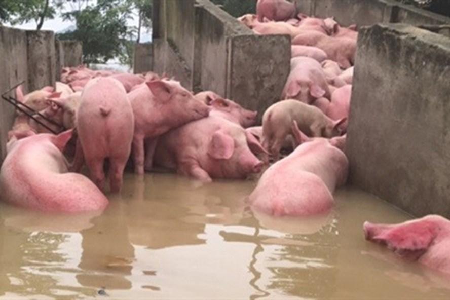 Chỉ còn khoảng 300 con lợn còn sống.