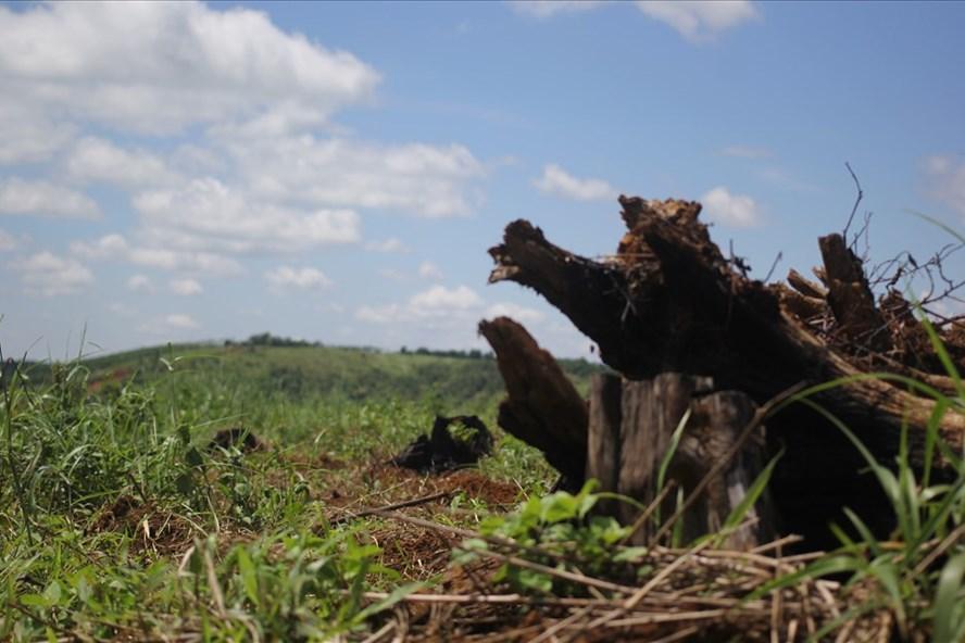 Rừng sau khi được giao đã bị người dân lấn chiếm làm nông nghiệp tại Đắk Song. Ảnh: H.L