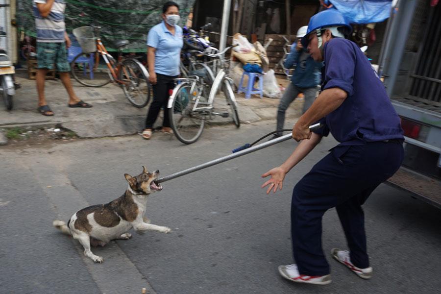 Chó thả rông không đeo rọ mõm bị bắt tại phường Linh Xuân, Q.Thủ Đức, TP.Hồ  Chí Minh.