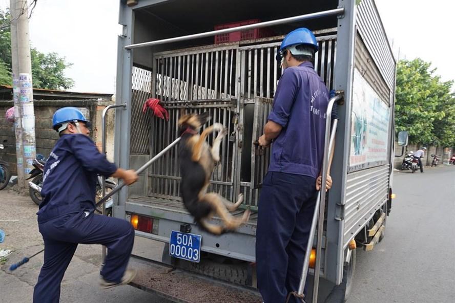 Đội săn bắt chó thả rông - thuộc cục Thú y TPHCM bắt chó thả rông trên địa bàn phường Linh Xuân, Q.Thủ Đức sáng ngày 13.9.  Ảnh: M.Q