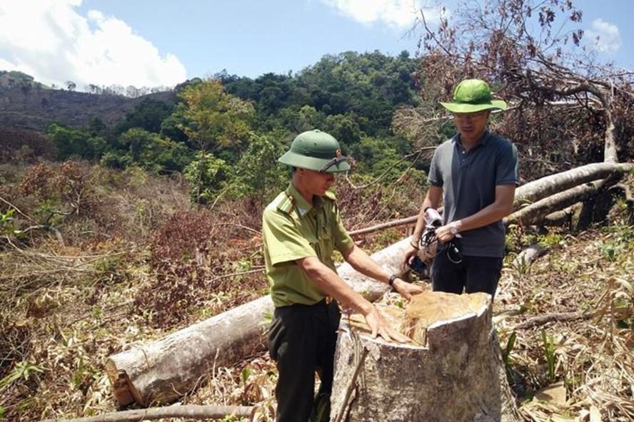 Cơ quan chức năng kiểm tra hiện trường vụ phá rừng An Lão (Bình Định). Ảnh: P.V