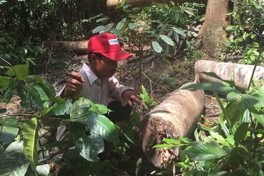Vụ phá rừng ở Bình Phước vào ngày 19.7.2018 đã được báo chí phanh phui, gây xôn xao dư luận. Ảnh: H.H