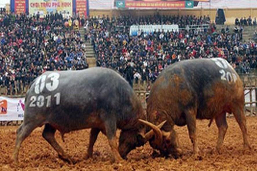 Lễ hội chọi trâu Phú Thọ thu hút sự quan tâm của người dân.