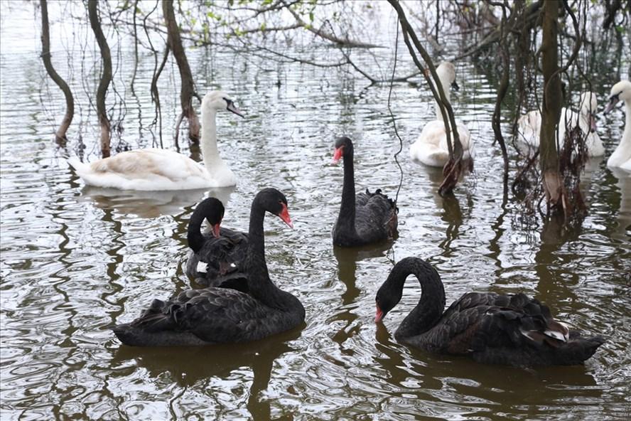Những chú chim thiên nga được thả thí điểm tại hồ Gươm. Ảnh TV