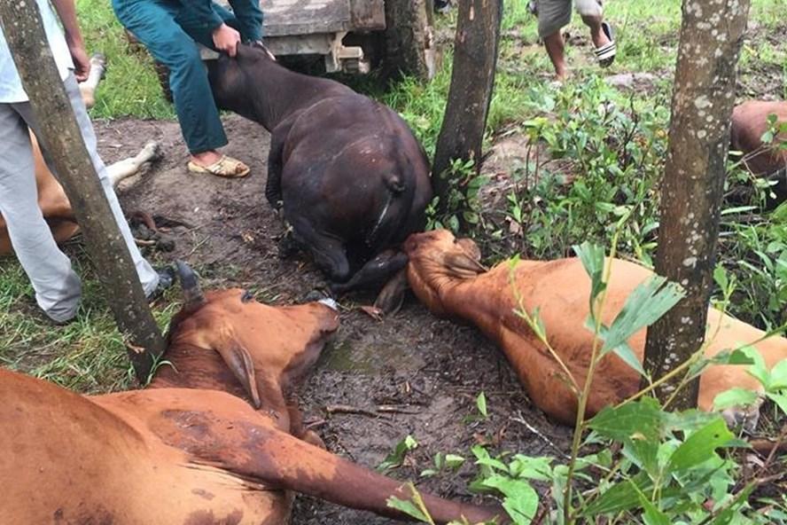 5 con bò của ông Hường bị sét đánh chết. Ảnh: V.T