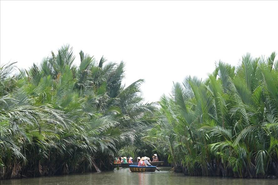 Rừng dừa nước ở Cẩm Thanh xanh tốt và rậm rạp không kém gì những rừng dừa nước ở miền Tây Nam Bộ.
