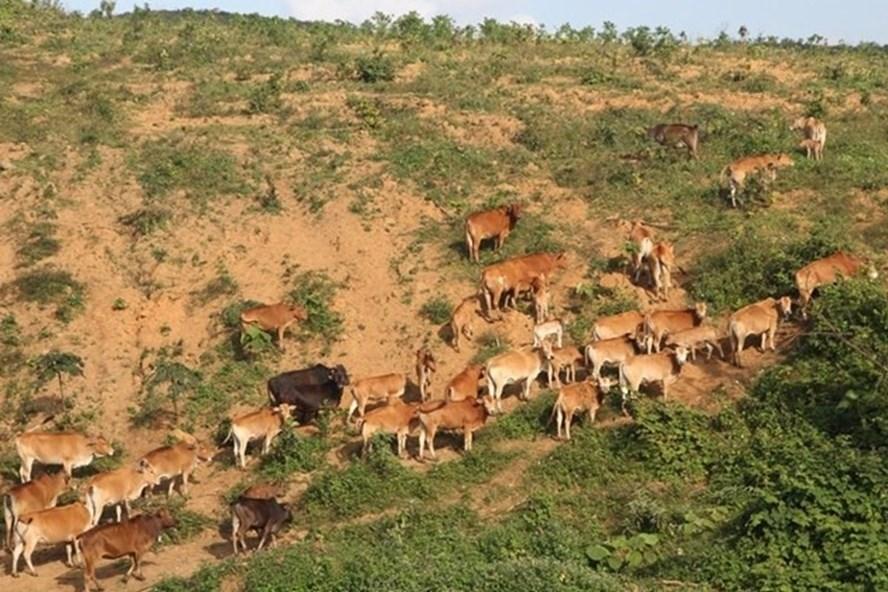 """Hàng trăm con trâu bò được người dân sở tại lùa vào vườn mắc-ca để gây """"áp lực""""... Ảnh: PV"""