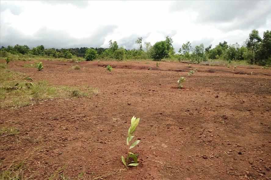 Nhiều diện tích đất quốc phòng tại sân bay Bù Boong và một số địa phương tại Đắk Nông được xẻ cho người nhà của cán bộ hoặc bị người dân lấn chiếm. Ảnh: P.V