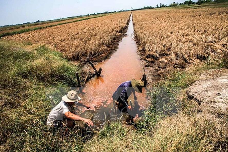 Nông nghiệp Đồng bằng sông Cửu Long có thể kiệt quệ do xâm nhập mặn. Ảnh: Báo điện tử Bình Định.