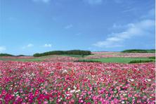 """Ngắm """"Nữ hoàng của những loài hoa"""" ở Châu Âu"""
