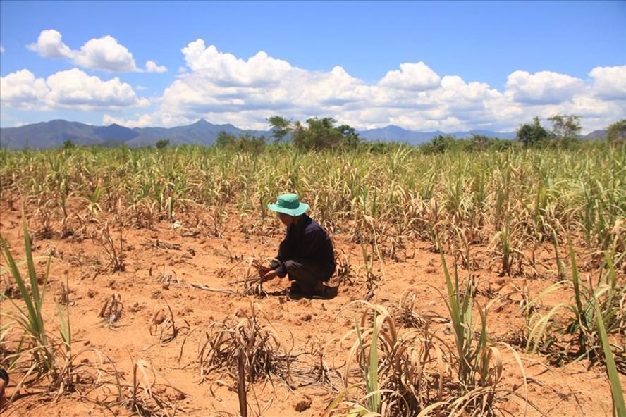 Do chính sách không rõ ràng, nên nông dân bỏ cây mía chết khô dần. Ảnh: PV