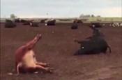 Nóng nhất hôm nay: 1.000 con bò chết vì nắng nóng kỷ lục ở Argentina